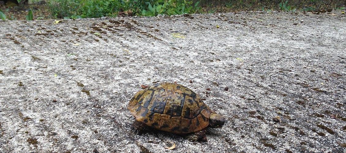 Turtle strolling through Kassiopi
